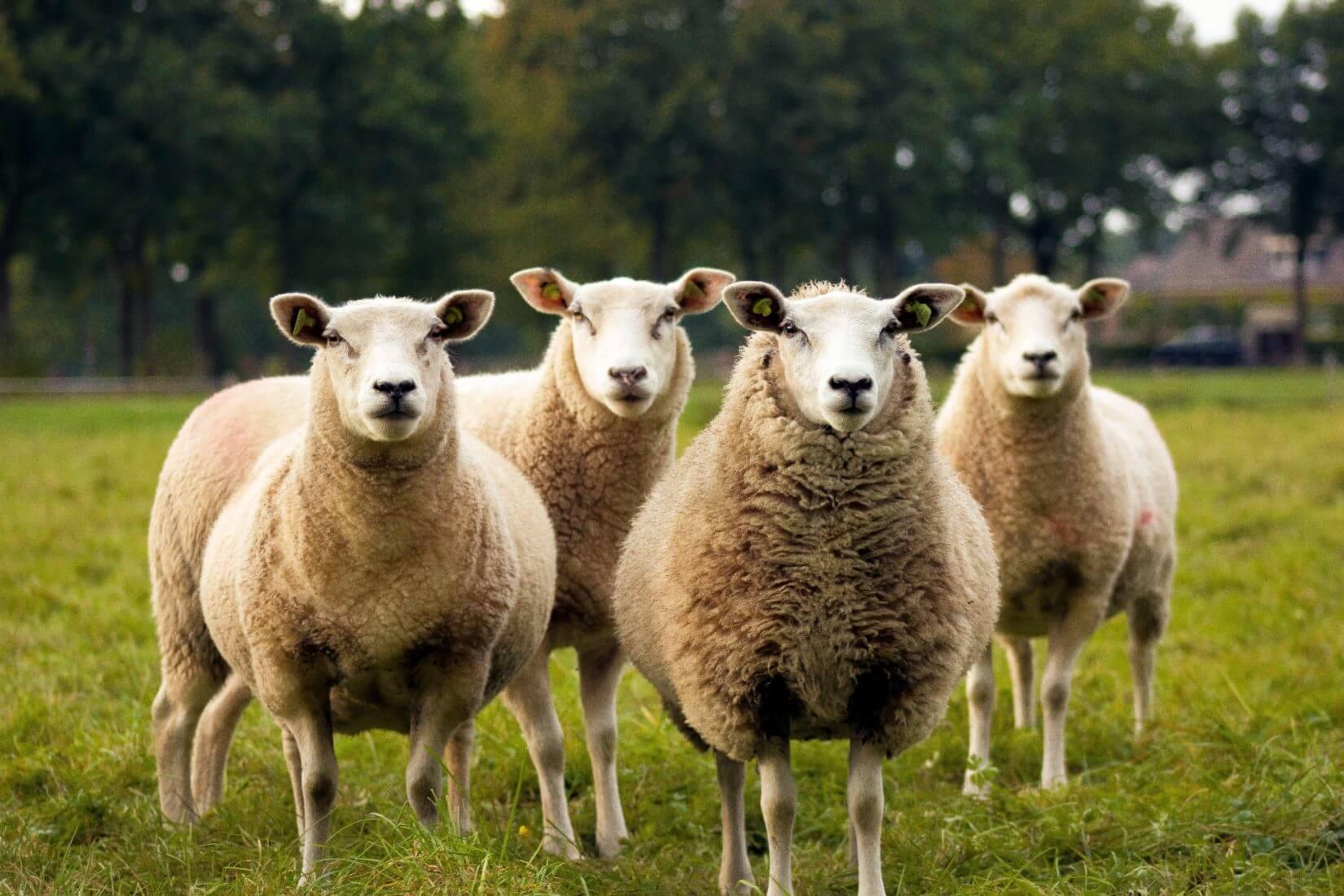 Viele sehr ähnliche Schafe auf einer Wiese