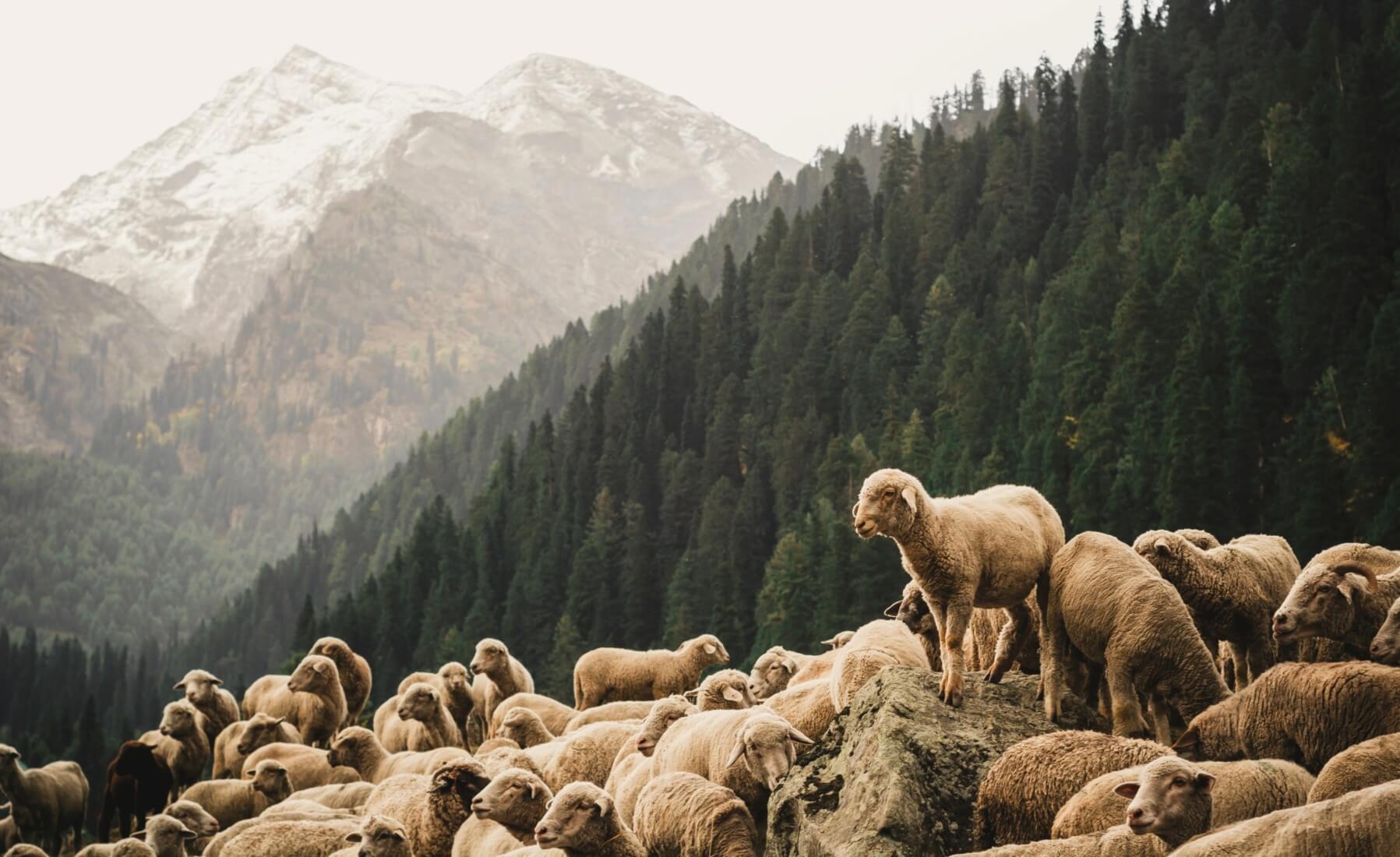 Schafherde in den Bergen